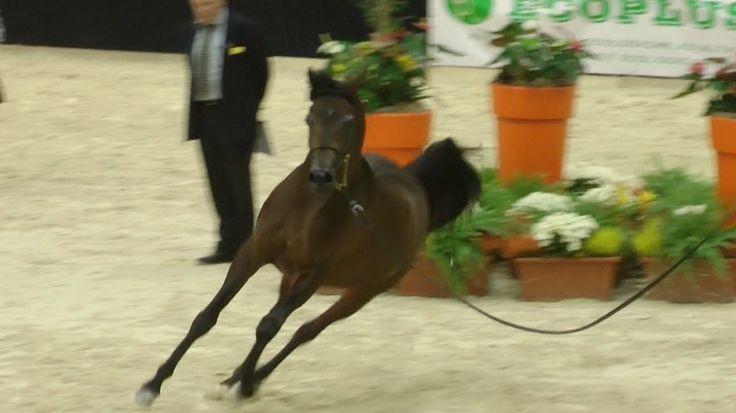 Cavalli Arabi Bellissimi \ Arabian Horses - Fieracavalli Verona 2015