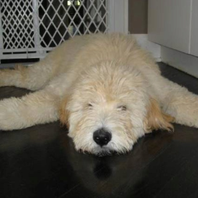 #Goldendoodle! Mine does this too where he lays completely splayed out on the floor... It's like they have no bones!