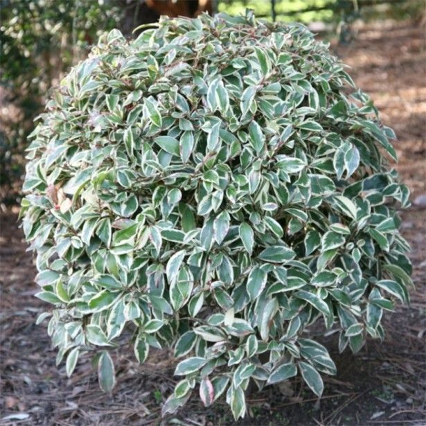 les 25 meilleures id es de la cat gorie arbuste japonais sur pinterest bonsai plante plantes. Black Bedroom Furniture Sets. Home Design Ideas