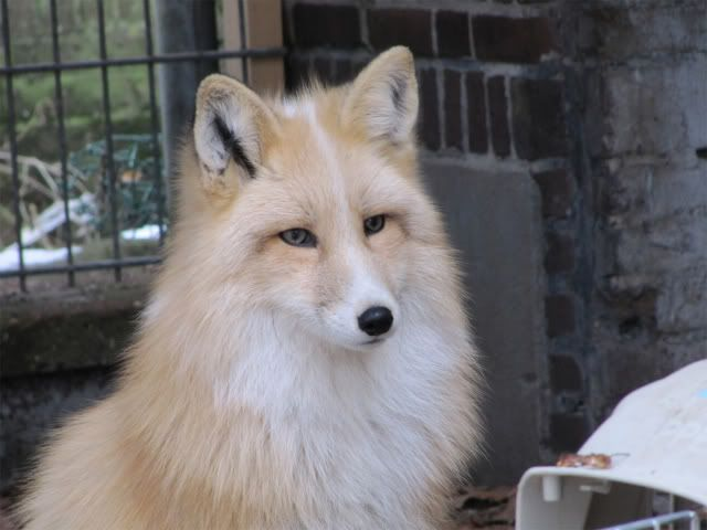 "Domesticated Foxes in Russia | tame"" Siberian foxes - Reptile Forums"