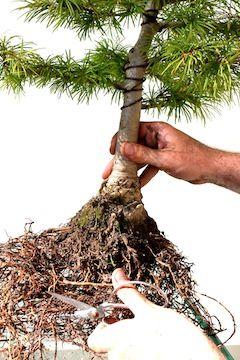 Repotting Bonsai, step by step.....  Repot bonsai prune roots