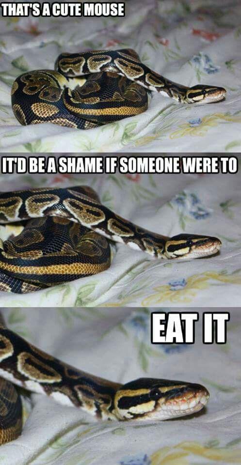 Ball python funny