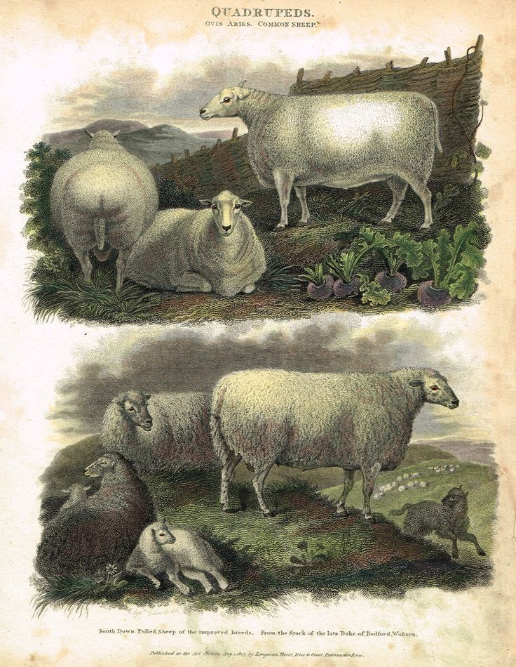 "Antique Animal - Edwards's Quadrepeds - ""OVIS ARIES - COMMON SHEEP"" - Hand Colored Engraving - 1807"