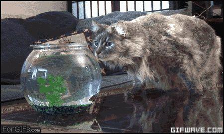 Shocked Cat Animals Giff #32010 - Funny Cat Giffs Funny Giffs Cat Giffs