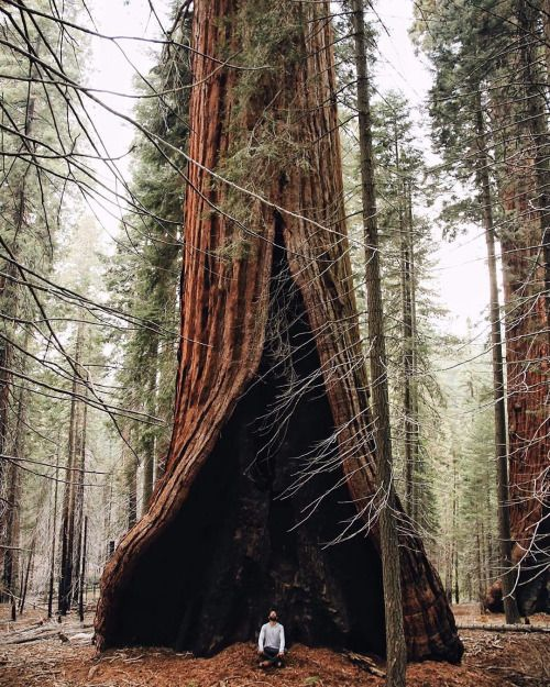 The heart tree in Sequoia National Park, California.