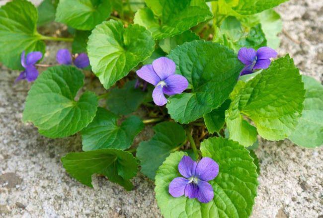 53 best ohio native plants images on pinterest