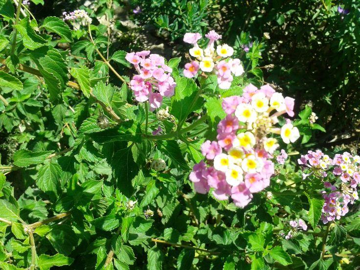 Cretan flowers...