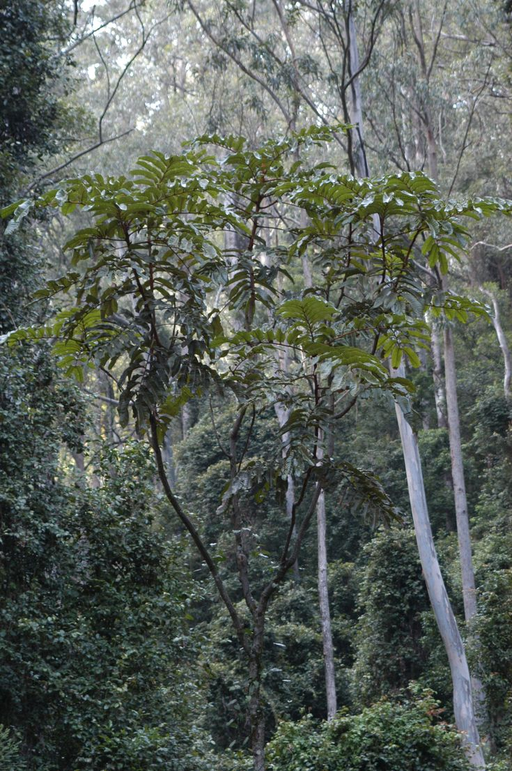 Diploglottis australis, known as the native tamarind, is a well known rainforest tree of eastern Australia. It is easily identifies by the large sausage shaped leaflets, The tree is medium to large, with long and broad leaves. It can reach a height of over 35 metres tall and a trunk diameter of 75 cm. The native tamarind grows in a variety of different rainforests, on basaltic and rich alluvial soils