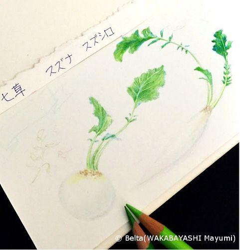 https://flic.kr/p/BX9DcT | 2016_01_07_nanakusa_01_s | work in progress. Japanese seven herbs. 今日は七草。 描きかけです。  © Belta(WAKABAYASHI Mayumi)