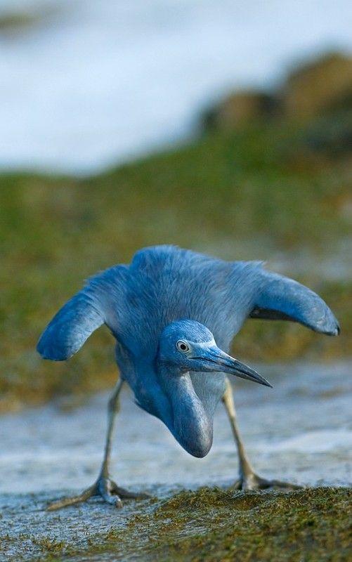 Héron bleu