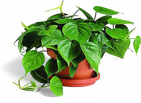 philodendron scandens க்கான பட முடிவு