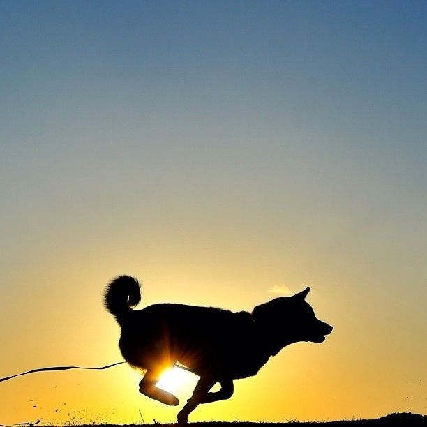 Shiba running as the sun sets