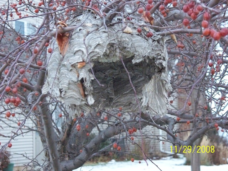 how to find a hidden wasp nest