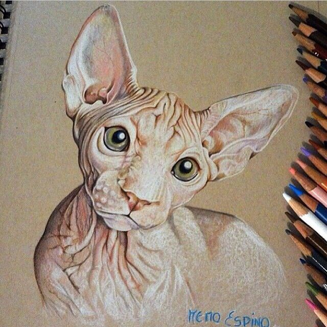 Sphynx cat colored pencil sketch, drawing