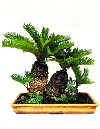 Cycus Revoluta Tropical Bonsai by Jyoti Pandya