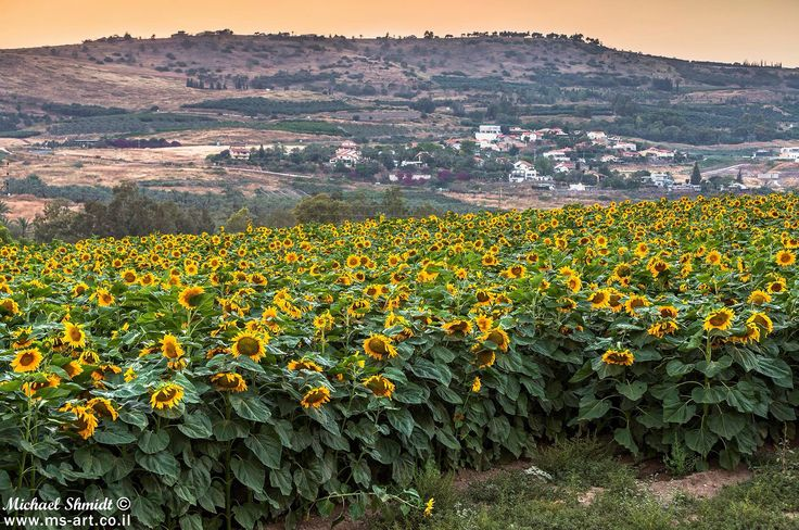 Images about sunflowers on pinterest sunflower fields sunflower