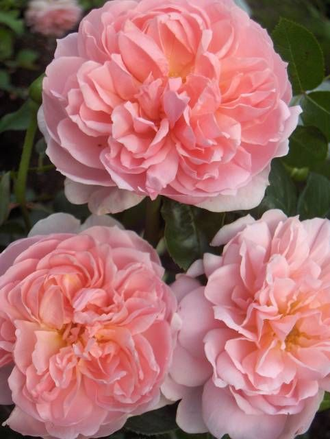 "Rose "" Wildeve "" , (AUSbonny) , David C. H. Austin (United Kingdom, before 2003)"