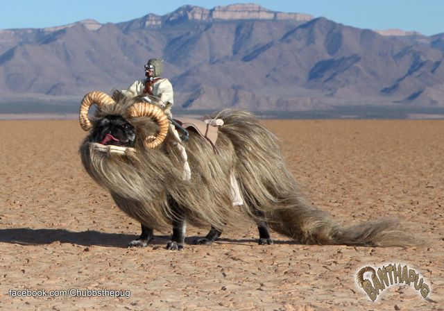 Amazing. Banthapug, Chubbs The Pug Dressed Up as a Star Wars Bantha