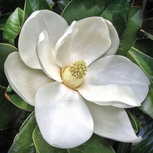 Southern Magnolia flower - Magnolia grandiflora - 20130112 | Flickr - Photo Sharing!