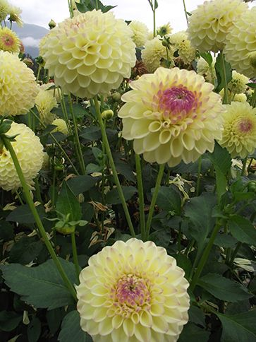 Ferncliff Bliss Lemon and Fuschia dahlia suitable for cutting. Love the shape and colors $15 per plant
