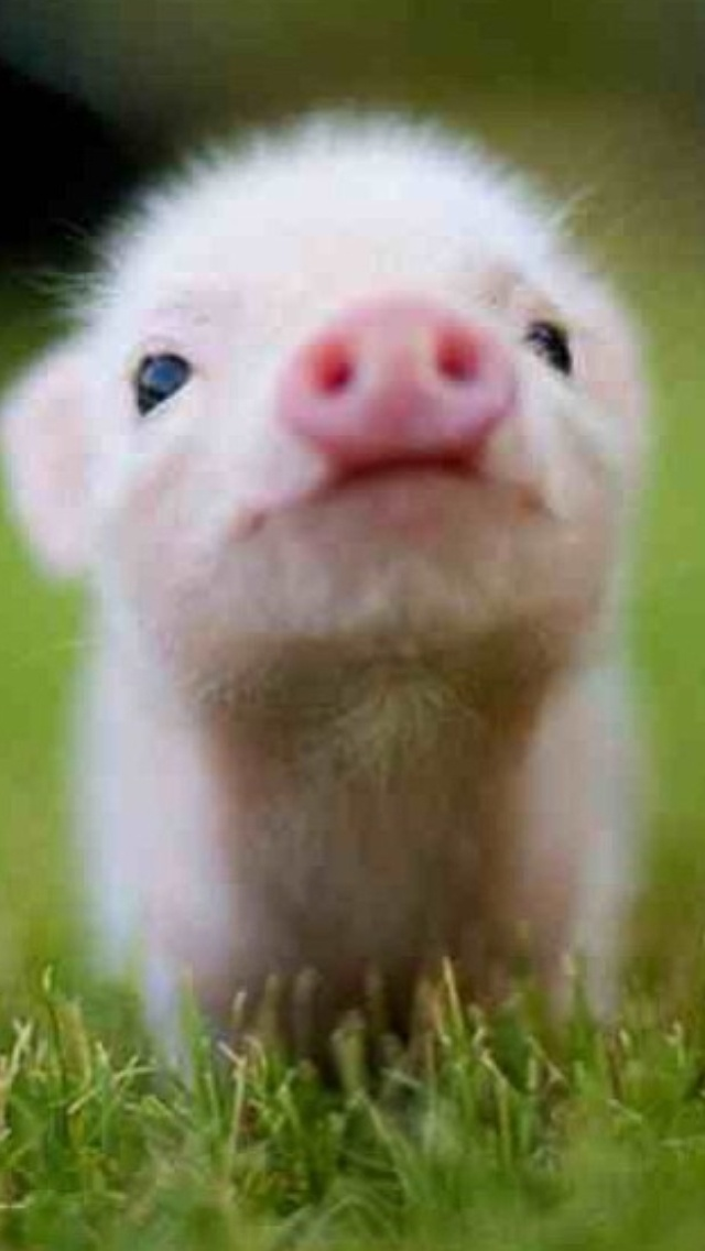 Micro pig... :) I will have one!!!!!!