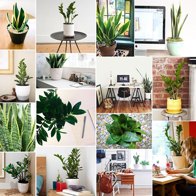 Plants U0026 Planters   Our Favorite Low Maintenance, Low Light Plants For The  Office Or Desk: ZZ Plant And Snake Plant