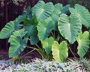 How to Grow Elephant Ear Plants ...wonder if these would work in pots placed in ground, because they can take over a yard...I'll try and see.