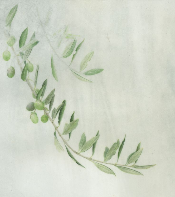 Olive branch 4