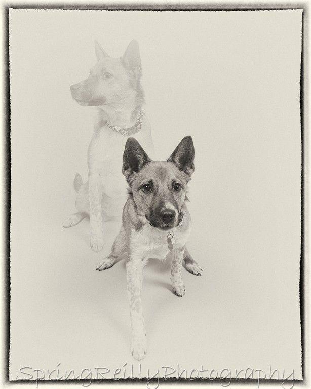 In studio Pet Portraits by Durham Region's best Dog portrait photographer Spring Reilly of Life's Elements Photography in Uxbridge, Ontario. www.springreilly.com