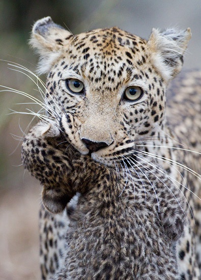 SEMI FINALIST: Max Waugh – Jakkalsdraai female leopard and cub