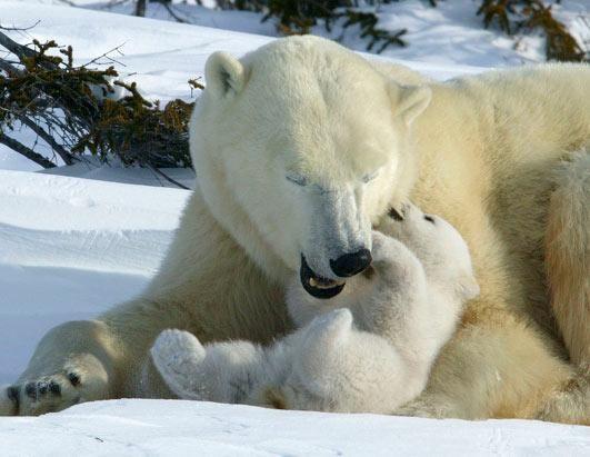 Giant Teddy loves Moms... sweet Polar Bears included ...
