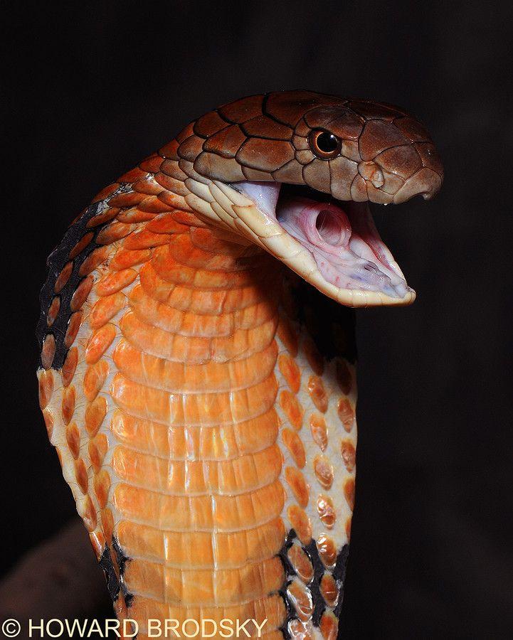 Змеи картинки кобра