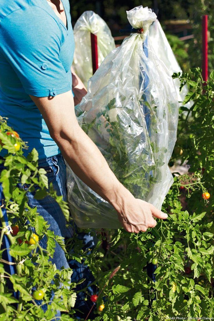 3 gestes faciles pour entretenir ses tomates Jardin d