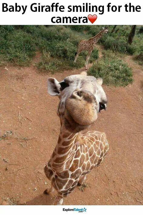 Baby giraffe smiling at camera