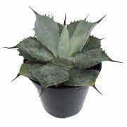"""Tequila Blue Agave Cactus - 4"""" Pot - Easy to Grow Image 1 of 5"""