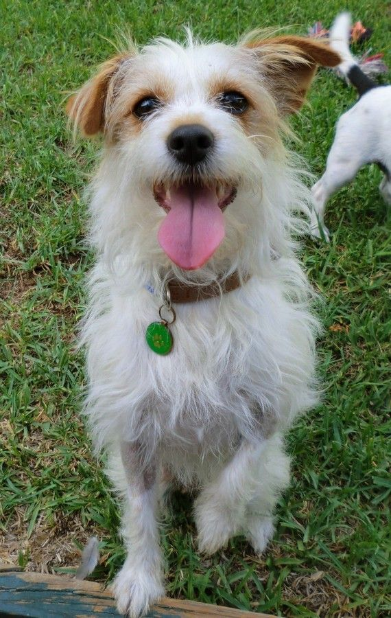 wire hair jack russell terrier | Wire Haired Jack Russell Wire Hair Jack…