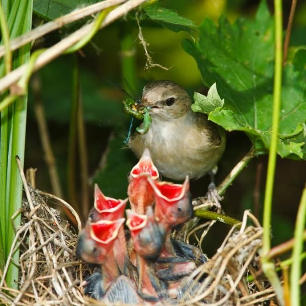 """The mother garden warbler (Sylvia borin) has five hungry mouths demanding attention – and food – and what big mouths too! Somehow, each gaping red mouth seems to be almost as big as the rest of the baby bird."""