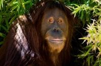 Singapore zoo tour & breakfast w/Orangutans! So doing this in Sept