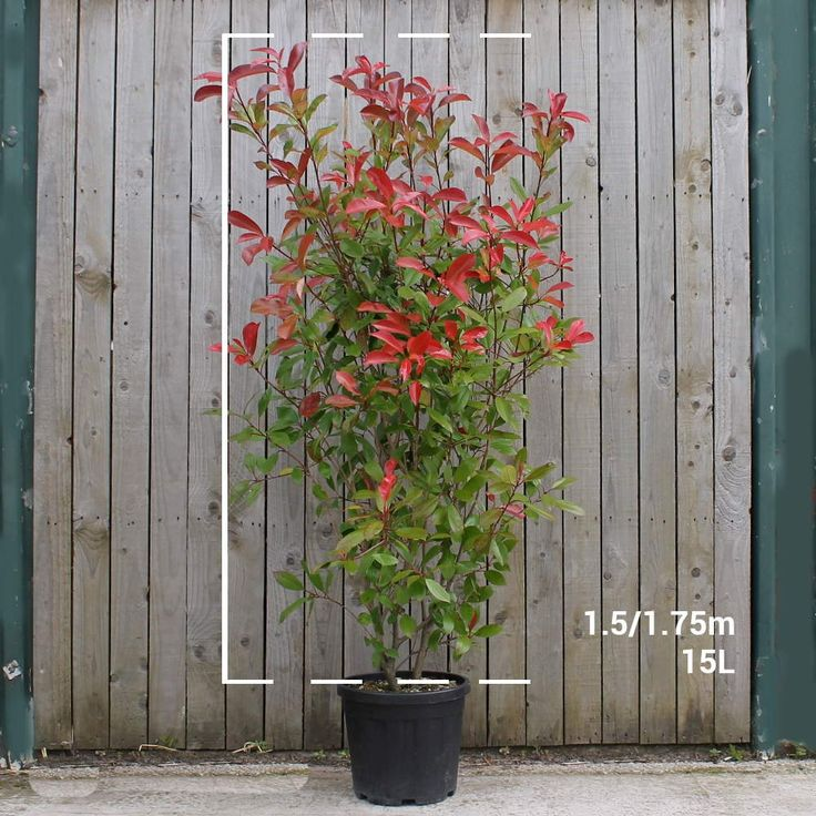 Photinia Red Robin hedge | Photinia x fraseri 'Red Robin' hedge plants