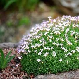 Goździk wczesny , Dianthus arpadianus