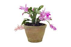 Christmas cactus is a prolific grower that eventually needs to be repotted. While this is not too complicated, the key is knowing when and how to repot a Christmas cactus. This article will help with that.