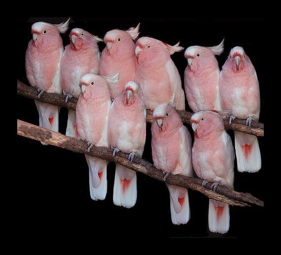 Major Mitchell's Cockatoos - The Pink Bird Choir