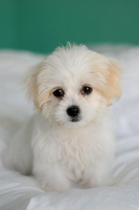 Mal- Shi puppy. my future dog