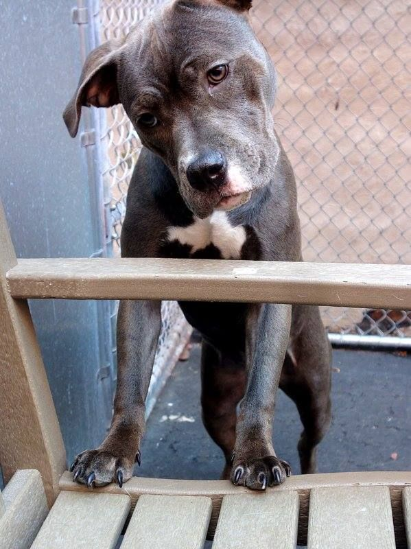 TO BE DESTROYED - 05/19/14 Manhattan Center -P  My name is RUDY. My Animal ID # is A0999251. I am a female gray and white pit bull mix. The shelter thinks I am about 10 MONTHS old.  I came in the shelter as a OWNER SUR on 05/09/2014 from NY 10459, owner surrender reason stated was NYCHA BAN.  https://www.facebook.com/photo.php?fbid=805307456148802&set=a.611290788883804.1073741851.152876678058553&type=3&theater