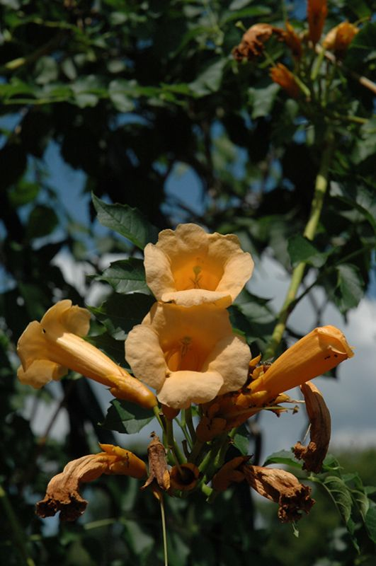 Yellow Trumpetvine (Campsis radicans 'Flava') at Carleton Place Nursery