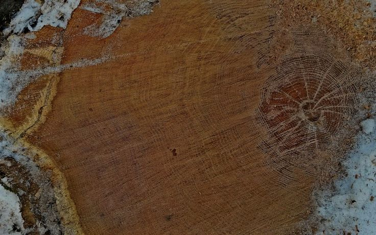 Oak Cross Section From the diameter of the trunk it is obvious this tree is quite old. Do you know how to tell the age of a tree? Counting rings is a popular method but there are others #trees #treeage #countingrings #agingatree #oaktree