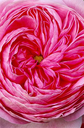 Close up of rosa gallica thalie la gentile