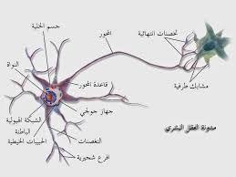 المرونة العصبية