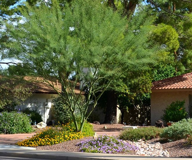 Many flowering plants enjoy protection from the hot desert sun when planted underneath the filtered shade of 'Desert Museum' palo verde.  Go...