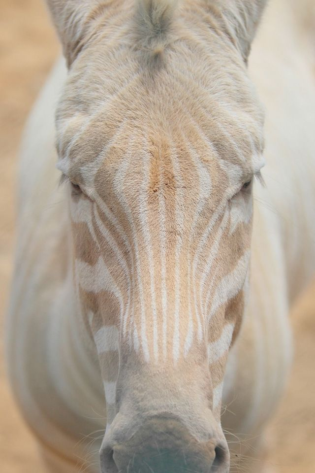 Albino Zebra. Photographer Bill Adams captured some incredible photos of a white zebra named Zoe. She is extremely rare, her unusual color is due to her having amelanosis. She has beautiful gold stripes and blue eyes.